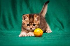 Котенок имбиря великобританский играя с шариком вставляя его когти стоковые фото