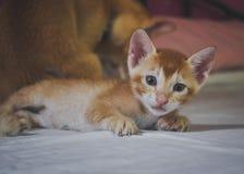 Котенок имбиря младенца вытаращить справедливо в lense камеры стоковая фотография rf