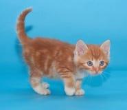 Котенок имбиря с опаской идет на синь Стоковые Изображения