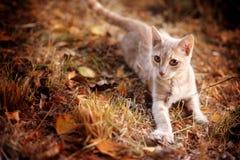 Котенок имбиря Стоковые Фотографии RF