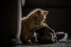 Котенок имбиря Стоковая Фотография