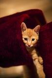 Котенок имбиря Стоковое Изображение