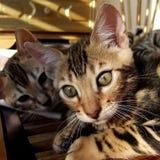 Котенок кота Бенгалии ослабляя с отпрыском в предпосылке принятой дома Стоковое Фото