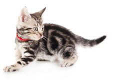 Котенок кота Shorthair стоковое фото rf