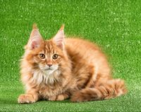 котенок Мейн енота Стоковые Изображения RF