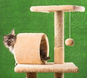 котенок Мейн енота Стоковые Изображения