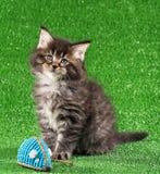 котенок Мейн енота Стоковая Фотография RF