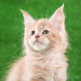 котенок Мейн енота стоковые фото