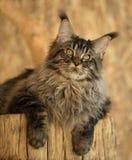котенок Мейн енота стоковая фотография