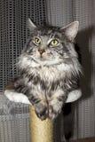 котенок Мейн енота Стоковые Фотографии RF