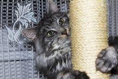 котенок Мейн енота Стоковое Изображение