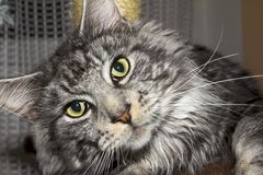 котенок Мейн енота Стоковое Изображение RF