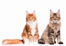 котенок Мейн енота Стоковое Фото
