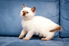 Котенок милого пункта цвета шоколада великобританский с голубыми глазами стоит высокорослым на голубой предпосылке, белом великоб стоковое фото