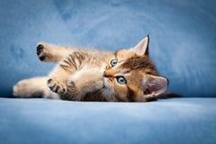 Котенок милого tabby великобританский жуя его лапку стоковая фотография rf