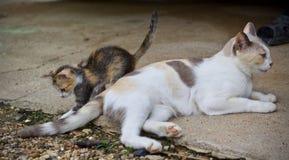 Котенок милый и играть кота матери Стоковые Фотографии RF