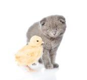 Котенок младенца и newborn цыпленок совместно Изолировано на белизне Стоковые Изображения RF