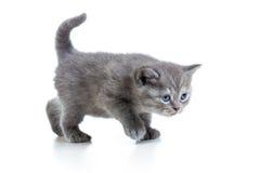 Котенок младенца шотландский или великобританский Стоковые Изображения RF