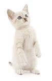 Котенок на белой предпосылке Стоковые Изображения