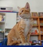 Котенок на счетчике кассир Стоковая Фотография RF