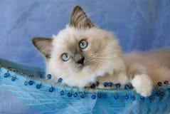 котенок отбортованный корзиной голубой стоковое изображение