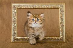 Котенок персиянки шиншиллы Стоковые Фото
