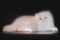 Котенок персиянки Extrimal Стоковые Фото