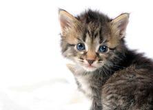 котенок предпосылки немногая белое Стоковое фото RF