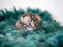 Котенок родословной сокращать-ушастый Портрет Стоковое фото RF