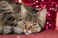 Котенок рождества с красным украшением света рождества Стоковое Изображение