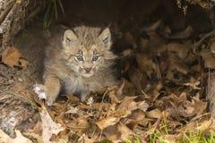 Котенок рыся Стоковая Фотография