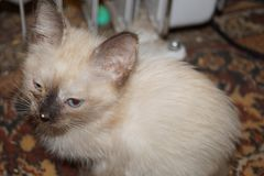 котенок сиамский Стоковые Фотографии RF