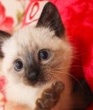 котенок сиамский Стоковая Фотография