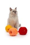 Котенок сибирского кота Masquerade Neva сидит рядом с путать потока стоковые фотографии rf