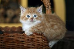 Котенок сидя в бамбуковой корзине стоковая фотография rf