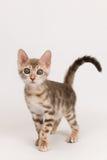 котенок сини Бенгалии Стоковые Изображения RF