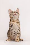 котенок сини Бенгалии Стоковые Фотографии RF