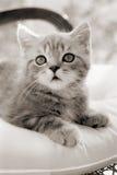 Котенок сидя на стуле Стоковое Изображение RF