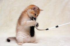 Котенок смешного имбиря великобританский играя с пушистым положением ручки на своих задних ногах стоковое изображение rf