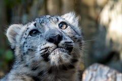 Котенок снежного барса - Irbis стоковое фото