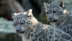 Котенок снежного барса - uncia пантеры Irbis видеоматериал