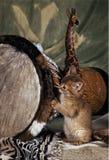 котенок сомалийский Стоковые Фотографии RF