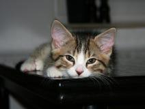 котенок сонный Стоковые Изображения RF