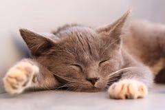 Котенок спать Стоковая Фотография