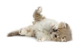 Котенок створки гористой местности лежа на его стороне изолированной на белизне стоковое фото rf