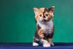 Котенок створки Scottish стоковое изображение