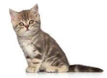 Котенок створки Scottish Стоковое Фото