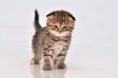 Котенок створки Scottish Стоковые Фотографии RF