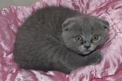 Котенок створки Scottish Стоковые Фото