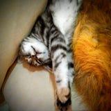 Котенок сладостной мечты Стоковая Фотография RF